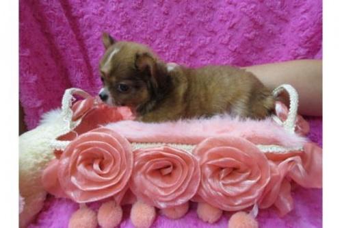 チワワ(ロング)の子犬(ID:1268411078)の2枚目の写真/更新日:2019-11-04