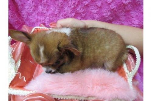 チワワ(ロング)の子犬(ID:1268411078)の3枚目の写真/更新日:2019-11-04