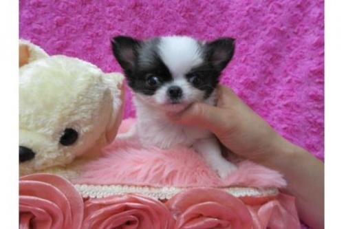 チワワ(ロング)の子犬(ID:1268411079)の1枚目の写真/更新日:2019-08-17