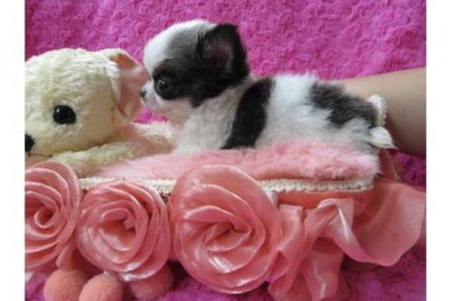 チワワ(ロング)の子犬(ID:1268411079)の3枚目の写真/更新日:2019-08-17