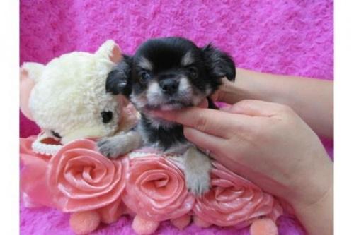 チワワ(ロング)の子犬(ID:1268411080)の1枚目の写真/更新日:2019-11-04