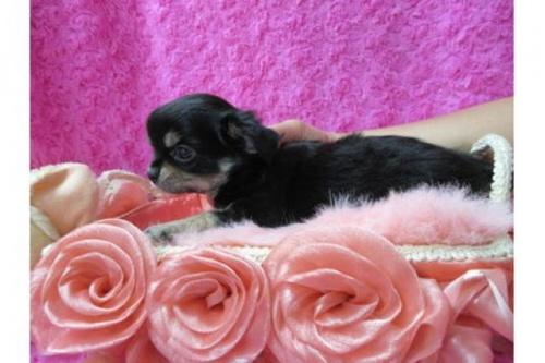 チワワ(ロング)の子犬(ID:1268411080)の2枚目の写真/更新日:2019-11-04