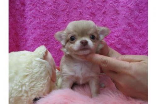 チワワ(ロング)の子犬(ID:1268411081)の1枚目の写真/更新日:2019-11-04