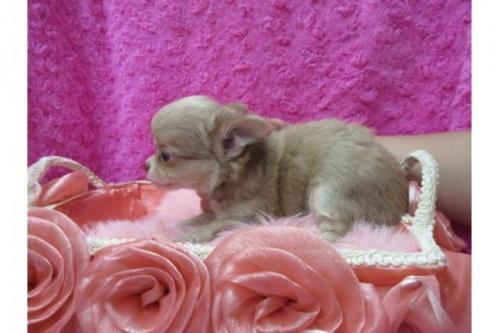チワワ(ロング)の子犬(ID:1268411081)の2枚目の写真/更新日:2019-11-04