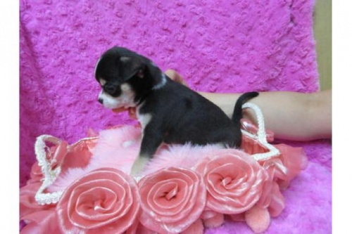 チワワ(スムース)の子犬(ID:1268411082)の3枚目の写真/更新日:2019-09-15