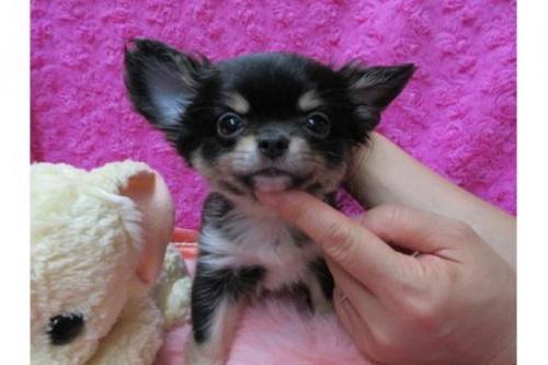 チワワ(ロング)の子犬(ID:1268411083)の1枚目の写真/更新日:2019-11-04
