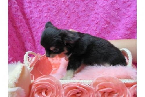 チワワ(ロング)の子犬(ID:1268411083)の2枚目の写真/更新日:2019-11-04