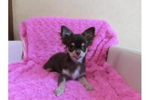 チワワ(ロング)の子犬(ID:1268411084)の1枚目の写真/更新日:2018-05-13