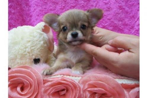チワワ(ロング)の子犬(ID:1268411085)の1枚目の写真/更新日:2019-11-04