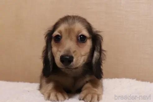 ミニチュアダックスフンド(ロング)の子犬(ID:1268511001)の1枚目の写真/更新日:2017-06-23