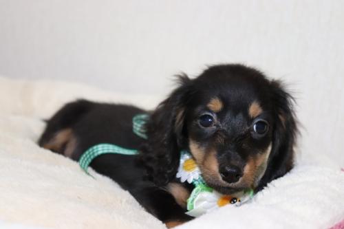 ミニチュアダックスフンド(ロング)の子犬(ID:1268511002)の1枚目の写真/更新日:2017-06-14