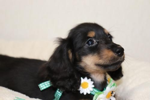 ミニチュアダックスフンド(ロング)の子犬(ID:1268511002)の2枚目の写真/更新日:2017-06-14