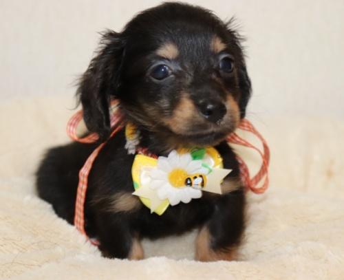 ミニチュアダックスフンド(ロング)の子犬(ID:1268511002)の3枚目の写真/更新日:2017-06-14