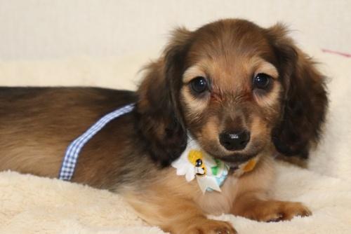 ミニチュアダックスフンド(ロング)の子犬(ID:1268511003)の1枚目の写真/更新日:2017-06-23