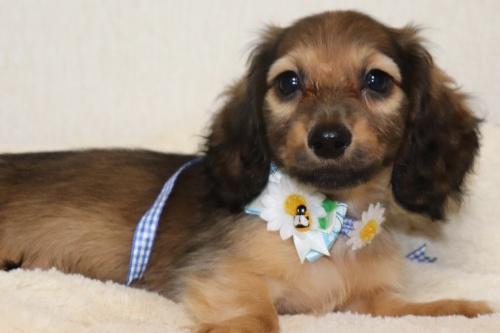 ミニチュアダックスフンド(ロング)の子犬(ID:1268511003)の2枚目の写真/更新日:2017-06-23
