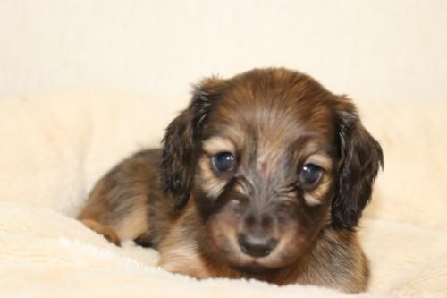 ミニチュアダックスフンド(ロング)の子犬(ID:1268511003)の3枚目の写真/更新日:2017-06-23