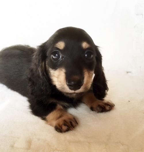 ミニチュアダックスフンド(ロング)の子犬(ID:1268511004)の1枚目の写真/更新日:2017-06-14