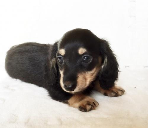 ミニチュアダックスフンド(ロング)の子犬(ID:1268511004)の2枚目の写真/更新日:2017-06-14