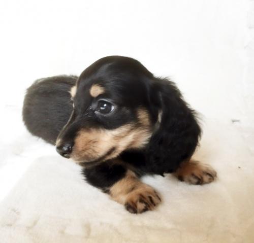 ミニチュアダックスフンド(ロング)の子犬(ID:1268511004)の3枚目の写真/更新日:2017-07-01