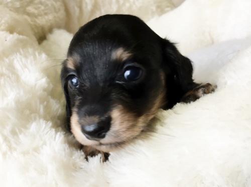 ミニチュアダックスフンド(ロング)の子犬(ID:1268511004)の4枚目の写真/更新日:2017-07-01