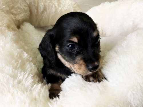 ミニチュアダックスフンド(ロング)の子犬(ID:1268511004)の5枚目の写真/更新日:2017-07-01
