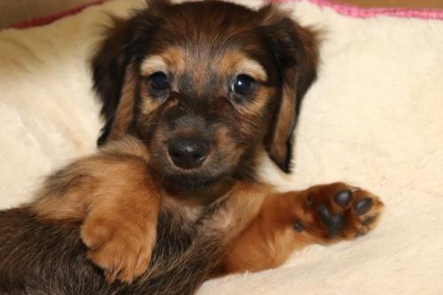 ミニチュアダックスフンド(ロング)の子犬(ID:1268511005)の2枚目の写真/更新日:2017-07-14