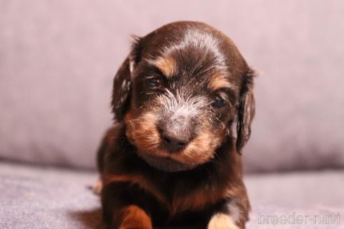 ミニチュアダックスフンド(ロング)の子犬(ID:1268511006)の1枚目の写真/更新日:2017-07-14