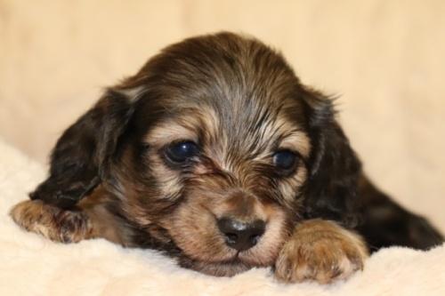 ミニチュアダックスフンド(ロング)の子犬(ID:1268511007)の2枚目の写真/更新日:2017-07-31