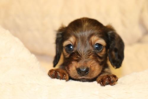 カニンヘンダックスフンド(ロング)の子犬(ID:1268511009)の1枚目の写真/更新日:2017-09-06