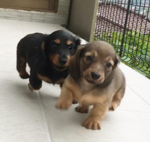ミニチュアダックスフンド(ロング)の子犬(ID:1268511010)の2枚目の写真/更新日:2017-09-06