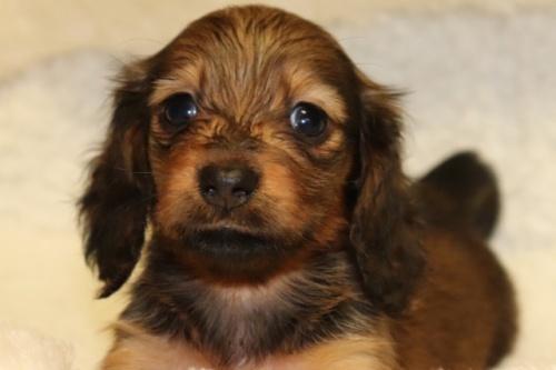 ミニチュアダックスフンド(ロング)の子犬(ID:1268511011)の2枚目の写真/更新日:2017-09-06