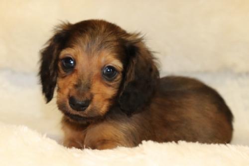 ミニチュアダックスフンド(ロング)の子犬(ID:1268511012)の1枚目の写真/更新日:2017-09-06