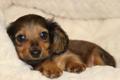 ミニチュアダックスフンド(ロング)の子犬(ID:1268511012)の2枚目の写真/更新日:2017-09-06