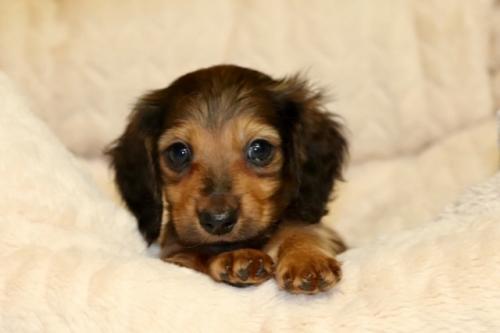 ミニチュアダックスフンド(ロング)の子犬(ID:1268511012)の3枚目の写真/更新日:2017-09-02