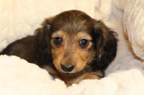 ミニチュアダックスフンド(ロング)の子犬(ID:1268511013)の1枚目の写真/更新日:2017-10-09