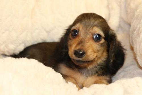 ミニチュアダックスフンド(ロング)の子犬(ID:1268511013)の2枚目の写真/更新日:2017-10-09