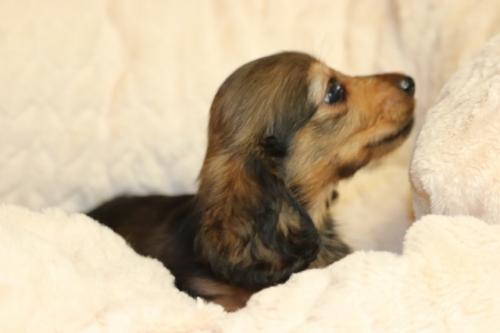 ミニチュアダックスフンド(ロング)の子犬(ID:1268511013)の3枚目の写真/更新日:2017-10-07