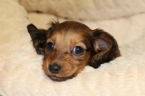 ミニチュアダックスフンド(ロング)の子犬(ID:1268511014)の1枚目の写真/更新日:2017-10-09