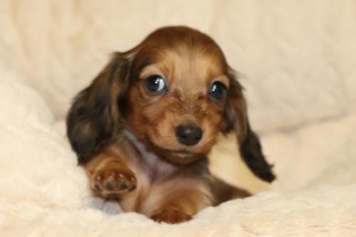 ミニチュアダックスフンド(ロング)の子犬(ID:1268511014)の2枚目の写真/更新日:2017-10-07