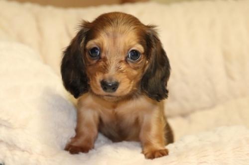 ミニチュアダックスフンド(ロング)の子犬(ID:1268511014)の3枚目の写真/更新日:2017-10-07
