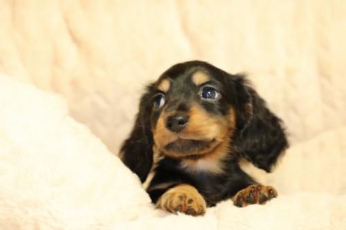 ミニチュアダックスフンド(ロング)の子犬(ID:1268511015)の2枚目の写真/更新日:2017-10-10