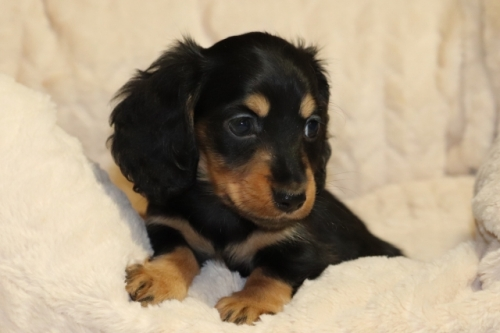 ミニチュアダックスフンド(ロング)の子犬(ID:1268511015)の3枚目の写真/更新日:2017-10-10