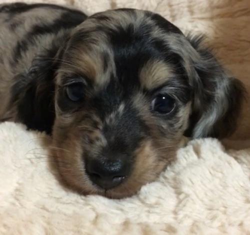 ミニチュアダックスフンド(ロング)の子犬(ID:1268511016)の1枚目の写真/更新日:2017-10-10