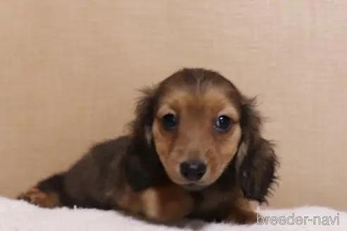 ミニチュアダックスフンド(ロング)の子犬(ID:1268511017)の1枚目の写真/更新日:2017-10-10
