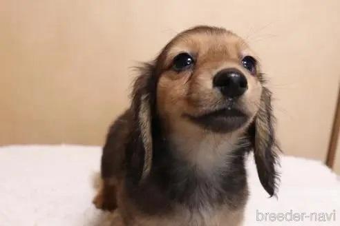 ミニチュアダックスフンド(ロング)の子犬(ID:1268511017)の2枚目の写真/更新日:2017-10-10