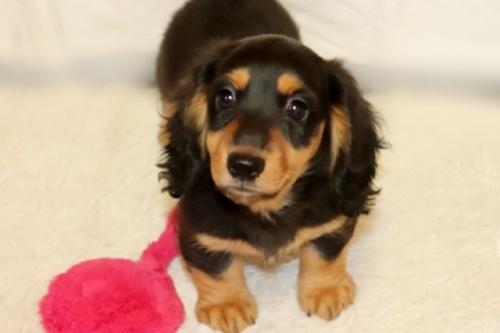 ミニチュアダックスフンド(ロング)の子犬(ID:1268511021)の1枚目の写真/更新日:2018-01-09