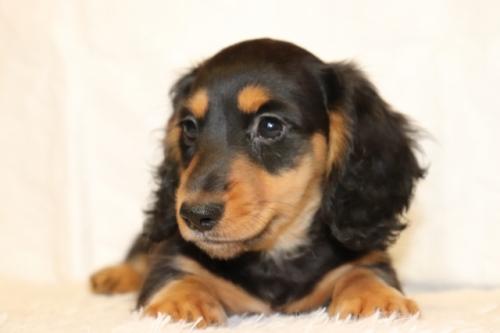 ミニチュアダックスフンド(ロング)の子犬(ID:1268511021)の3枚目の写真/更新日:2018-01-09