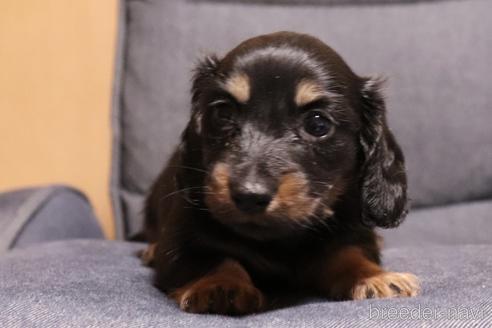 ミニチュアダックスフンド(ロング)の子犬(ID:1268511022)の1枚目の写真/更新日:2018-02-11