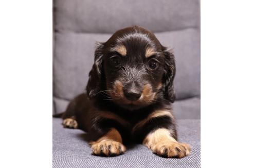 ミニチュアダックスフンド(ロング)の子犬(ID:1268511022)の2枚目の写真/更新日:2018-02-11