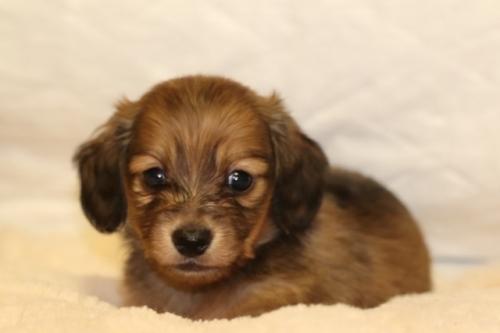 ミニチュアダックスフンド(ロング)の子犬(ID:1268511023)の1枚目の写真/更新日:2018-02-11